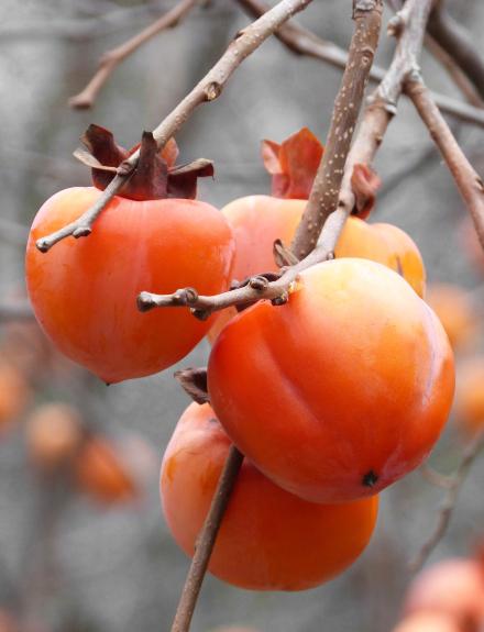 Caquis, la fruta del otoño